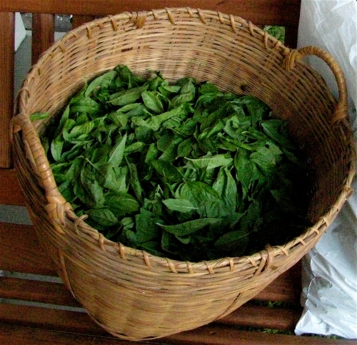 a bushel of basil